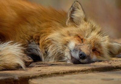 El veneno en España. Evolución del evenenamiento de fauna silvestre 1997 - 2017