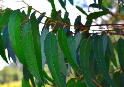 ¿Qué papel juega el eucalipto en el medio ambiente?