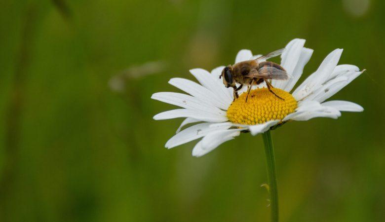 Sale a la Luz el primer atlas de especies de abejas del mundo