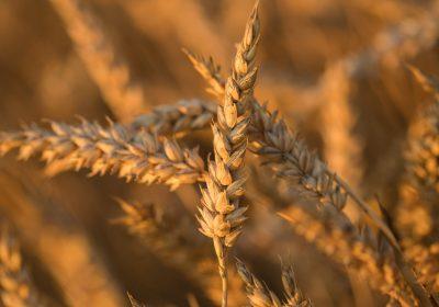 La enfermedad del trigo común en Asia salta a África