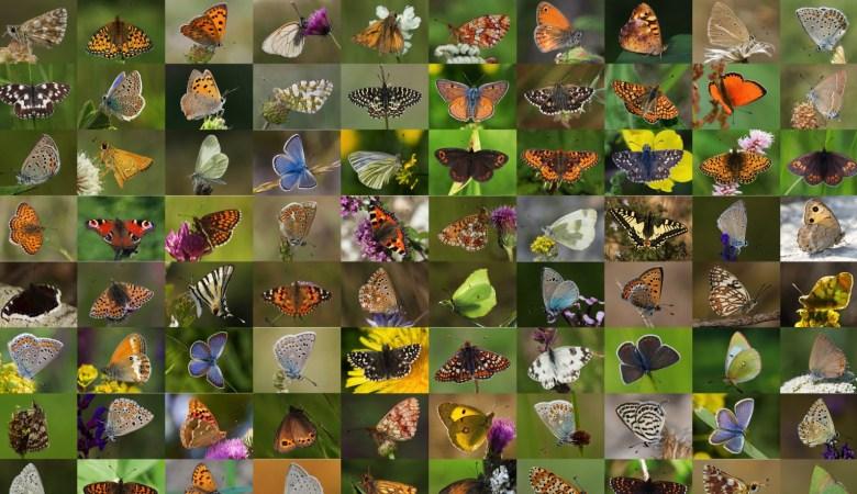Completado el mayor atlas genético de mariposas de Europa