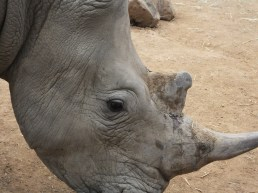 White Rhinocerus