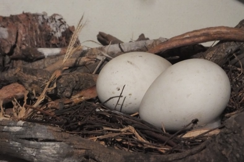 African spoonbill eggs