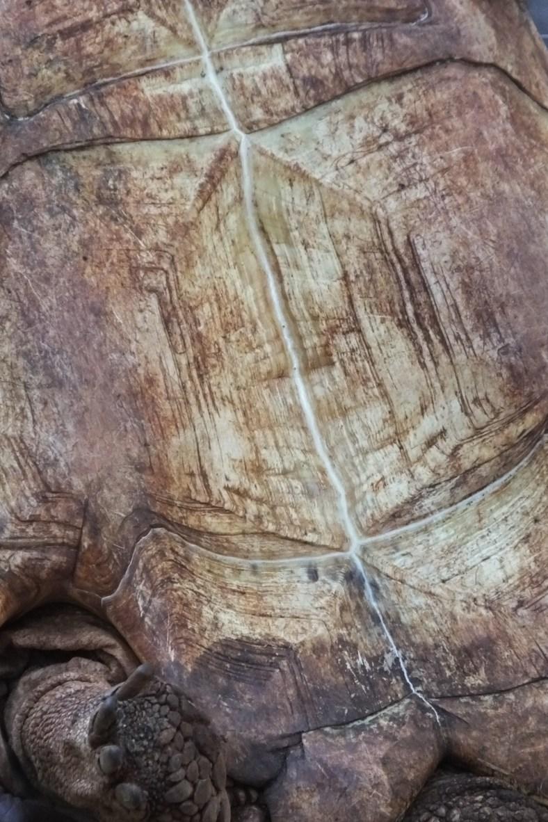 male tortoise