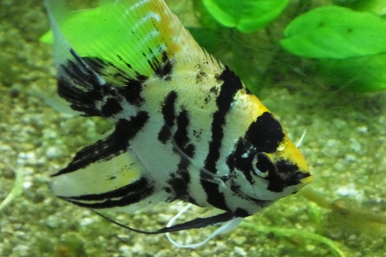 Gold Marble Angelfish Similar But Different In The Animal Kingdom