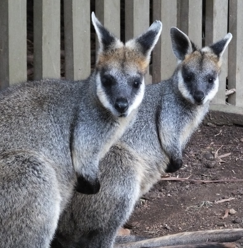 Northern Swamp Wallaby