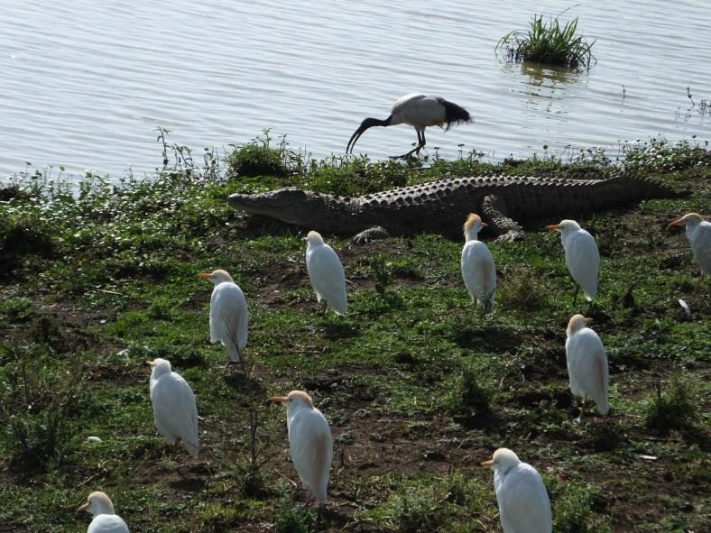 Cattle Egret, crocodile, sacred ibis