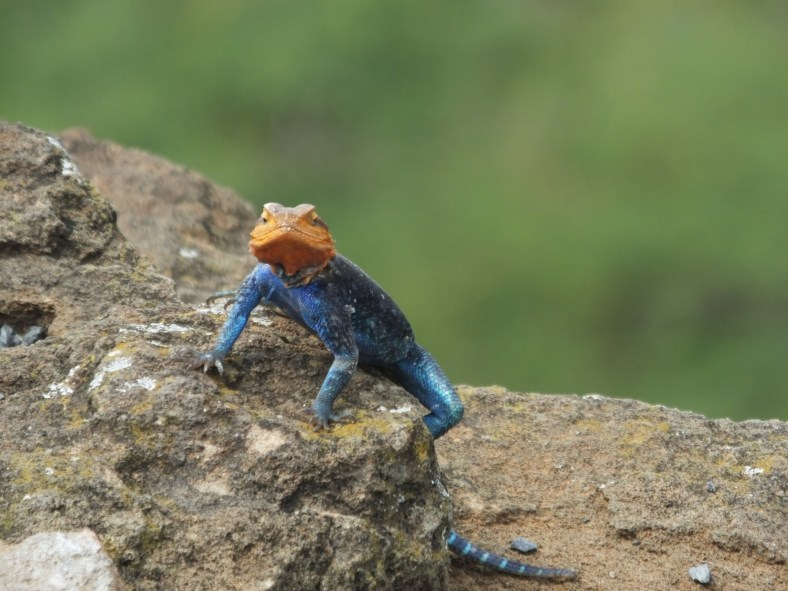 Red -Headed Rock Agama
