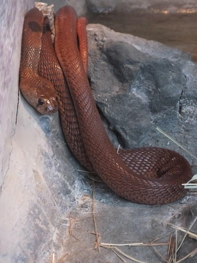 Red Spitting Cobra