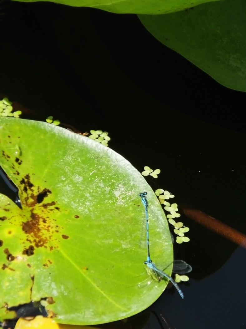 Swamp Bluet Damselfly