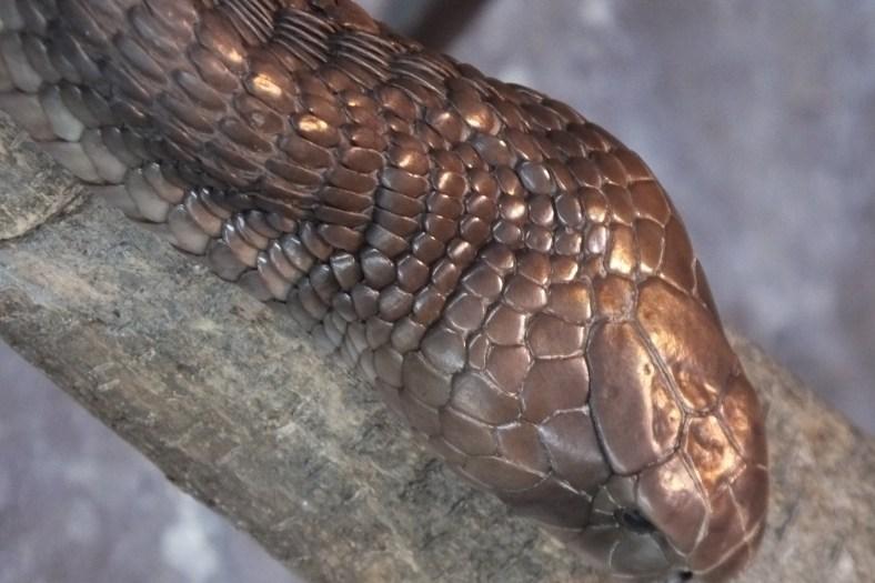 Large Brown Spitting Cobra