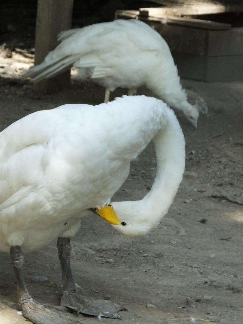 Bewick's Tundra Swan