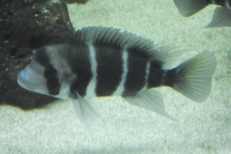 Hunchback Tilapia