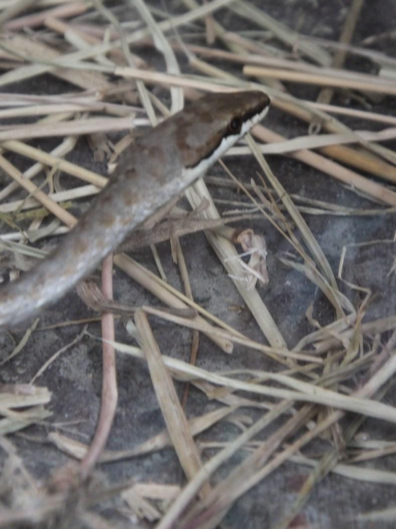 Link-Marked Sand Snake