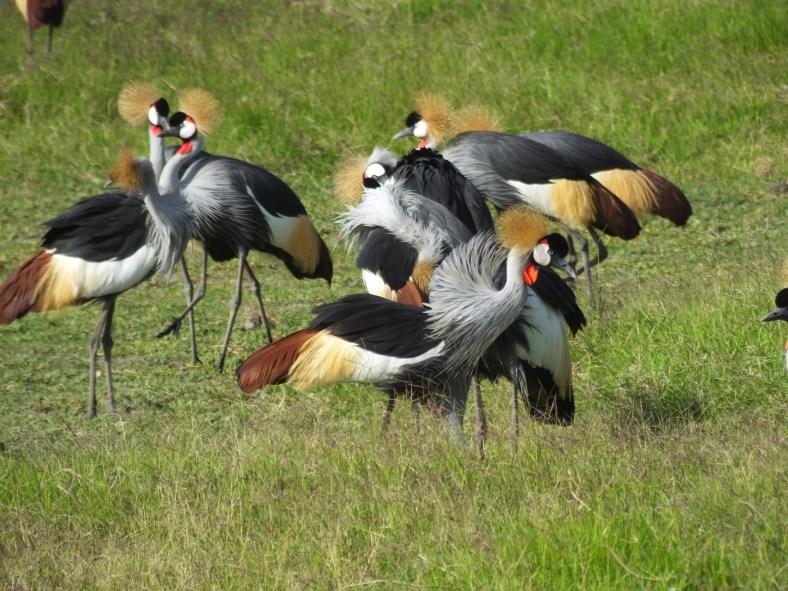 Grey Crested Crane