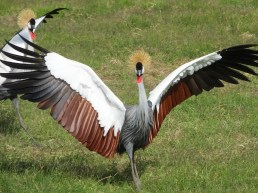 Courtship dance of the Grey Crested Crane