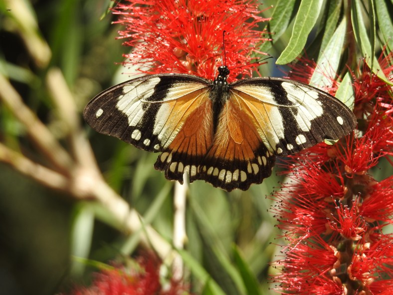 African Mocker Swallowtail