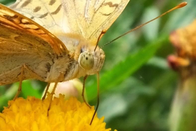 Butterfly's proboscis
