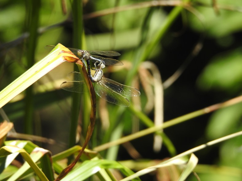 Eastern Swamp Emerald Dragonfly