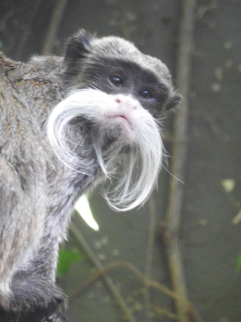 Bearded Emperor Tamarin