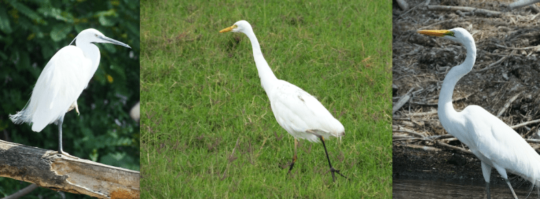 Little Egret, Intermediate Egret, Great Egret