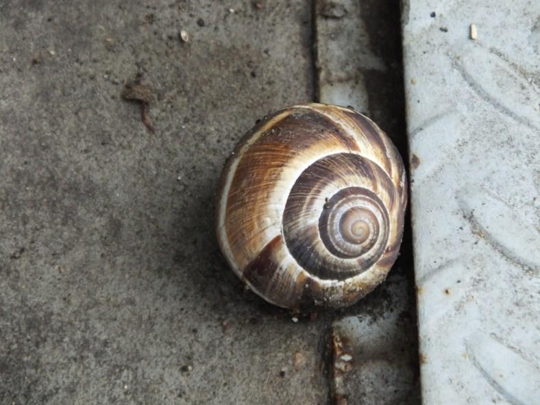 Caucasus Helix Snail
