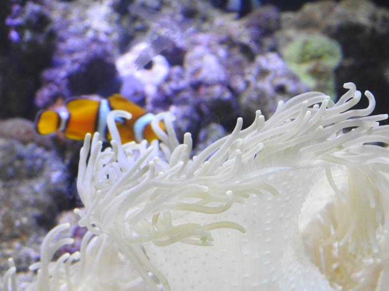 Haitian Sea Anemone