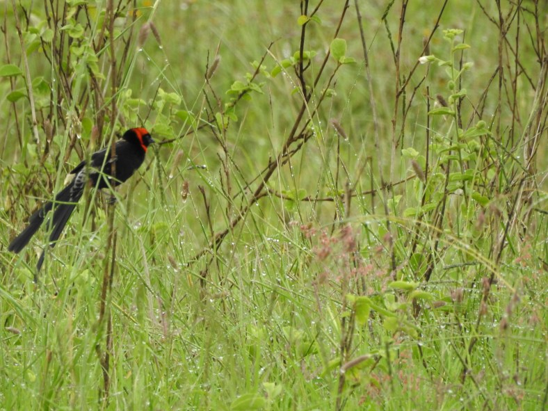 Red-Collared Widowbird