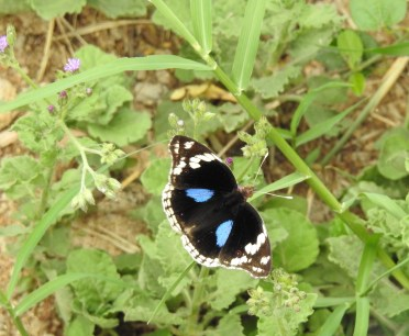 Dark Blue Pansy Butterfly