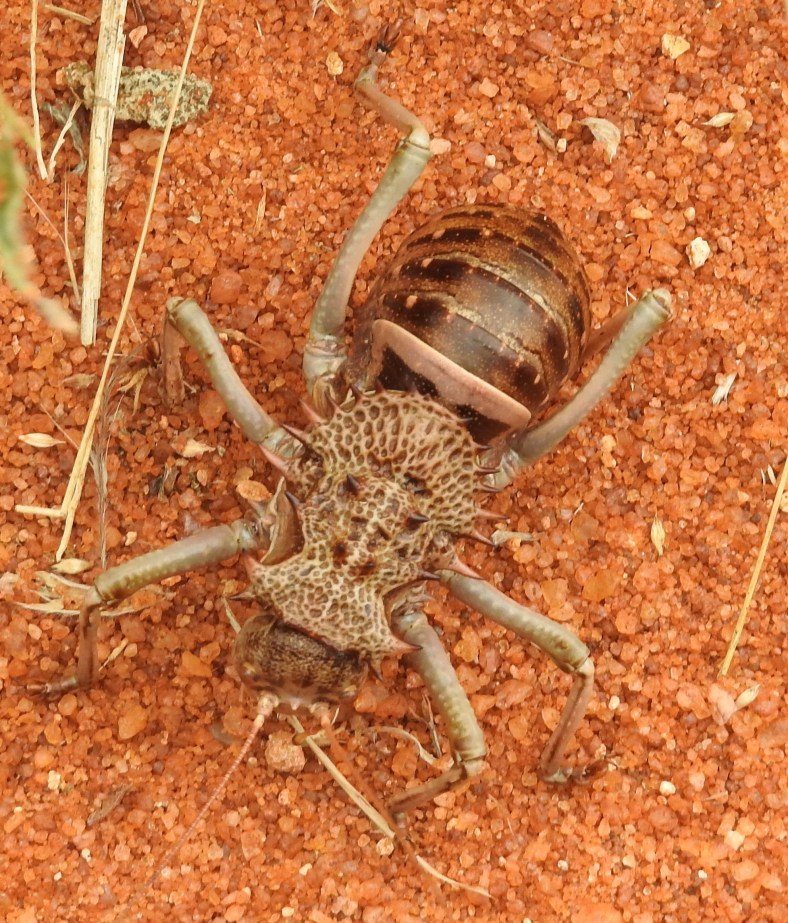 African Armoured Ground Cricket