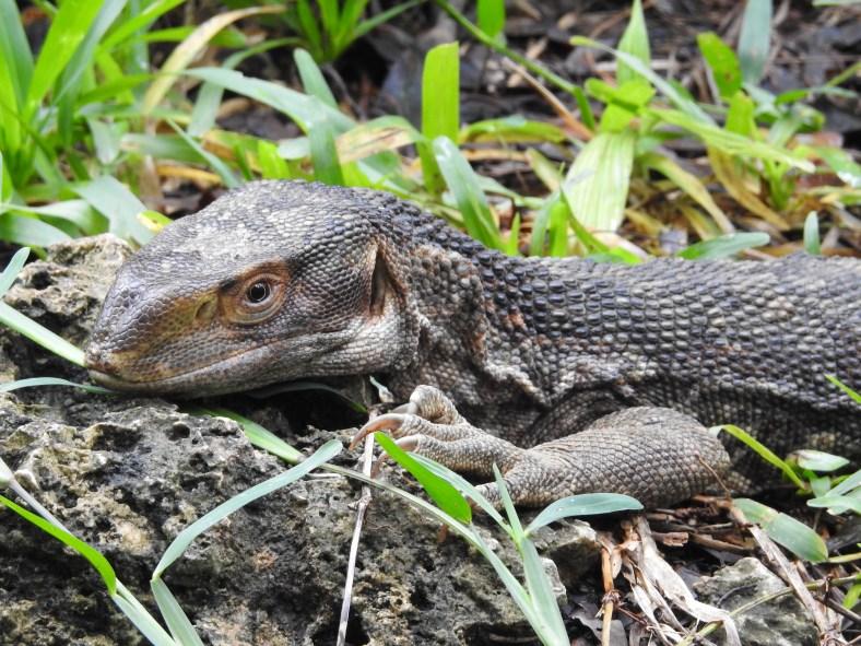 White-Throated Savannah Monitor Lizard