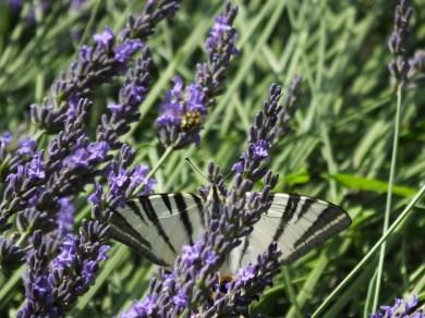 Scarce Swallowtail Butterfly