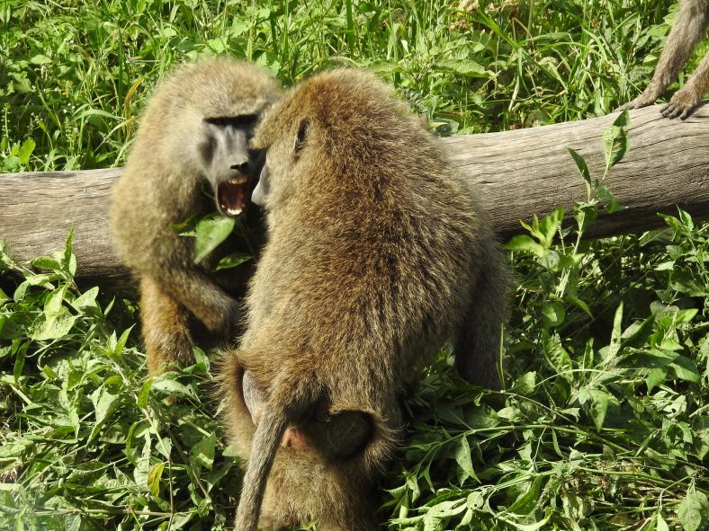 Savannah Baboon