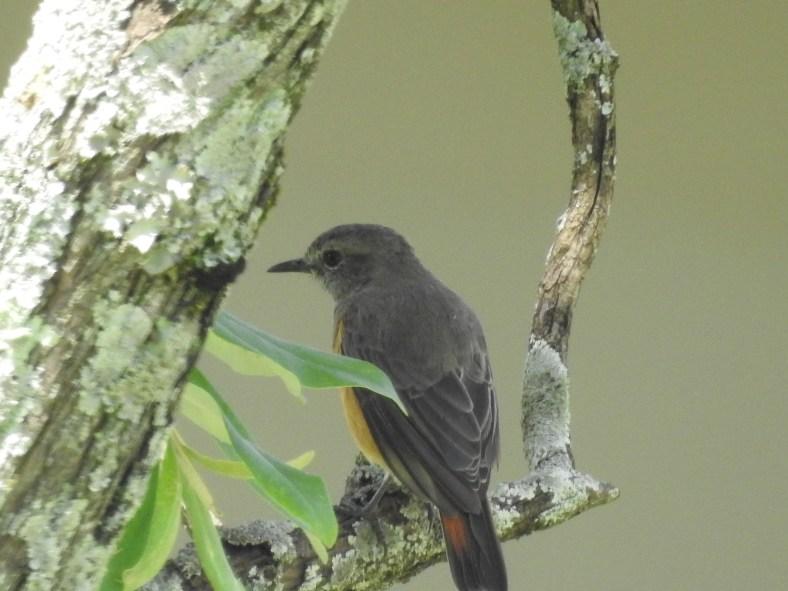 Common Redstart