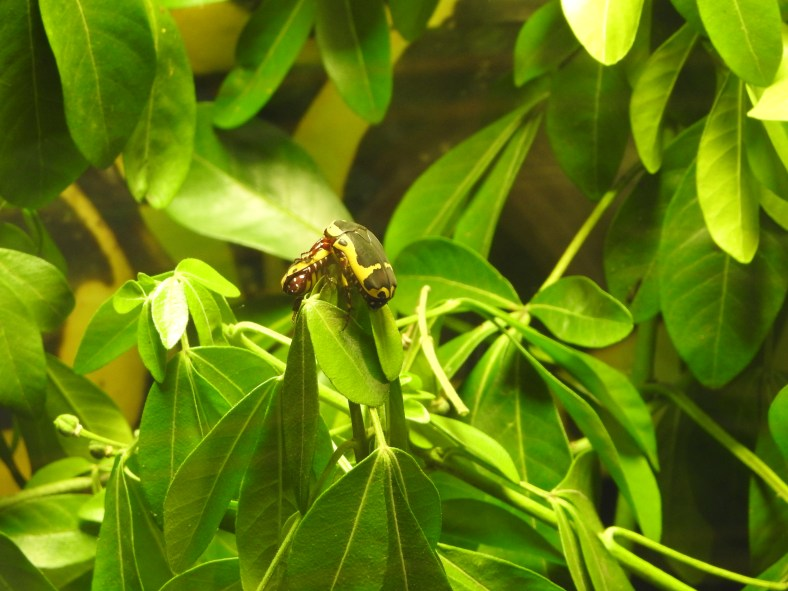 Garden Fruit Chafer