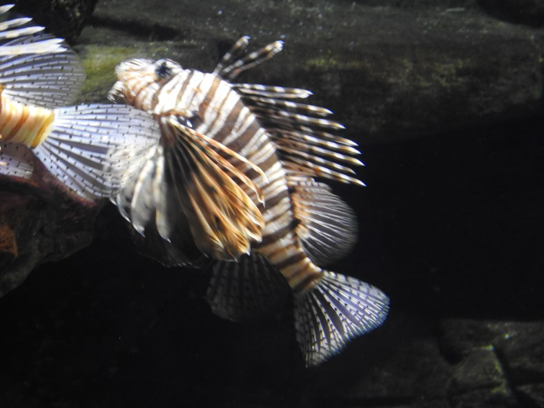 Raggedfin Lionfish