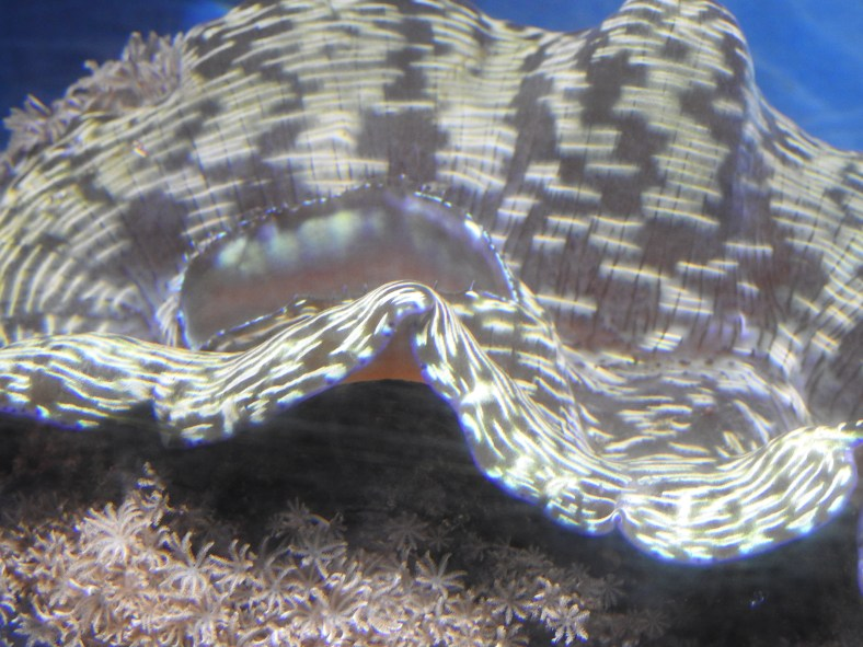 Bluegreen Giant Clam