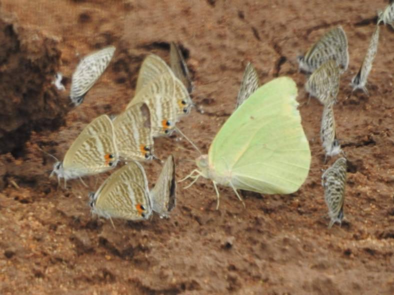 Mud-puddling butterflies
