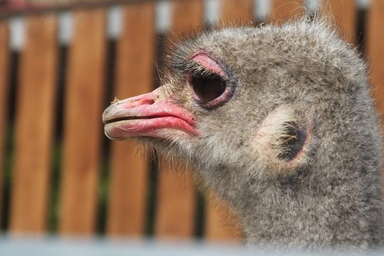 Juvenile Ostrich