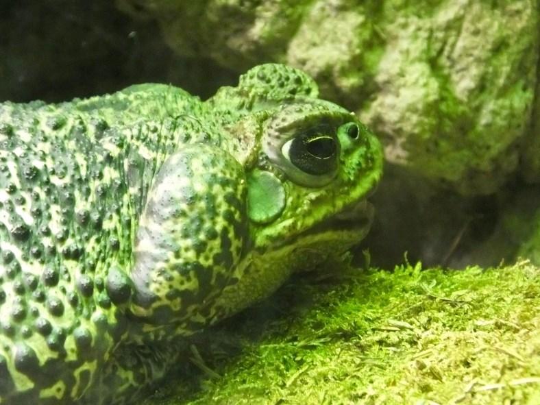 Schneider's Toad