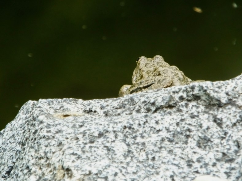 Caucasus Parsley Frog