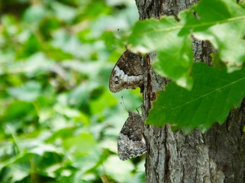 Grayling Butterfly
