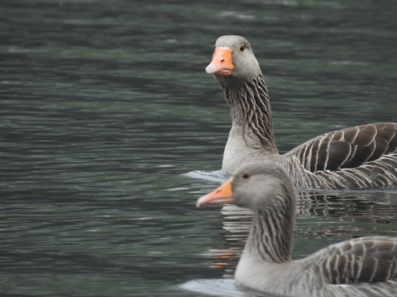 Western Greylag Goose