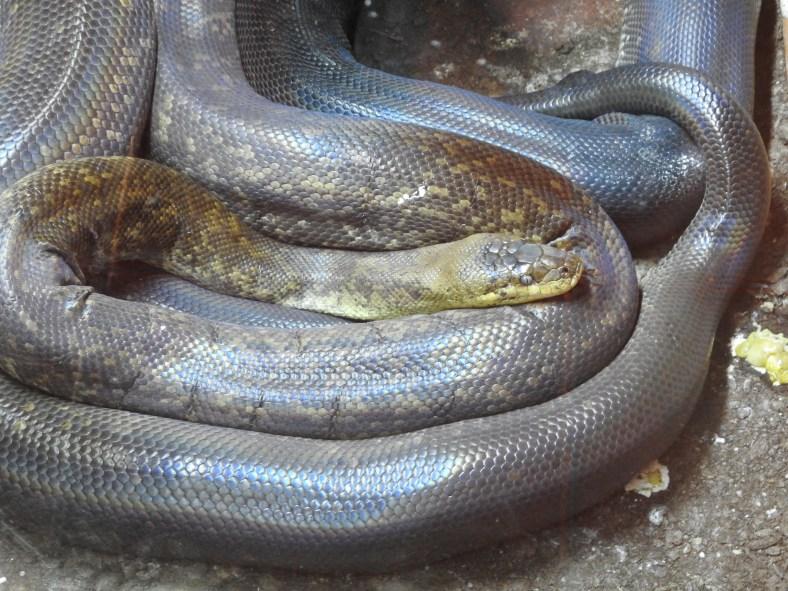 Macklot's Python
