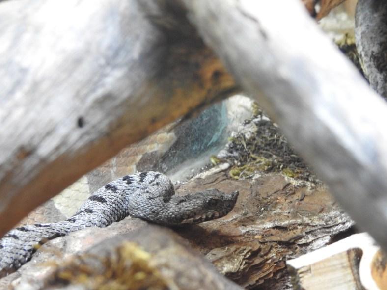 Transcaucasian Sand Viper