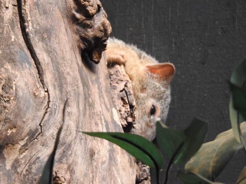 Narrow-Striped Mongoose