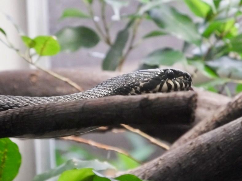 Russian Rat Snake