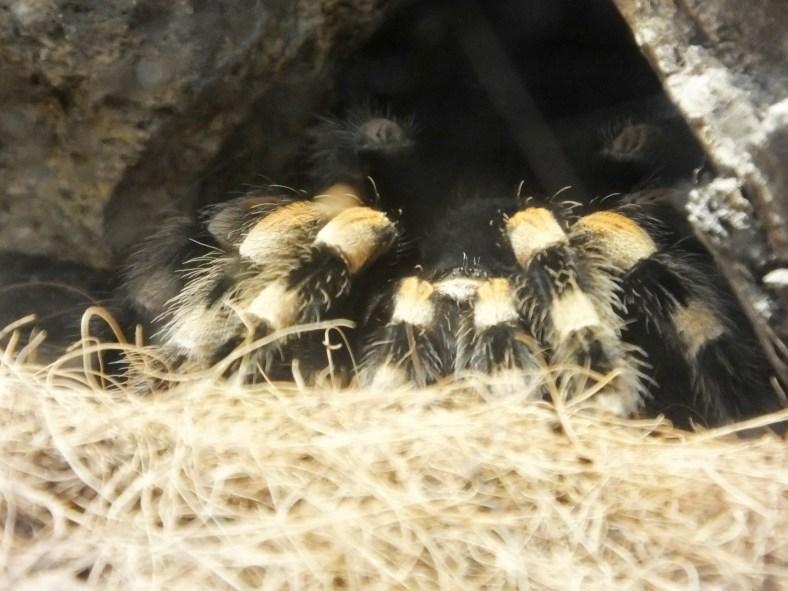 Mexican Red-Knee Tarantula