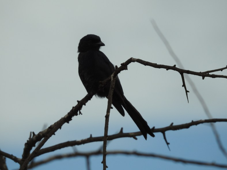 East African Fork-Tailed Drongo