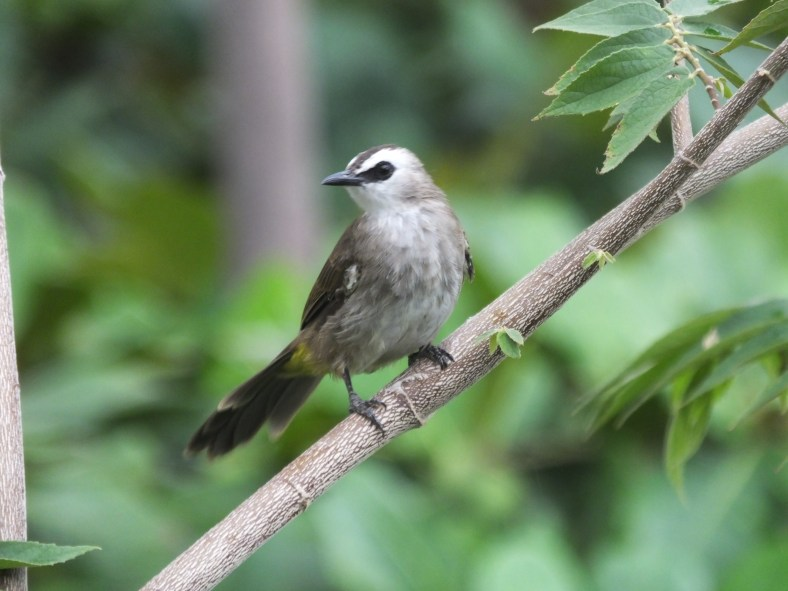 Mekong Yellow-Vented Bulbul